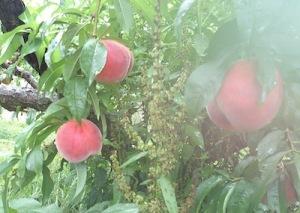 桃の木ヨコ